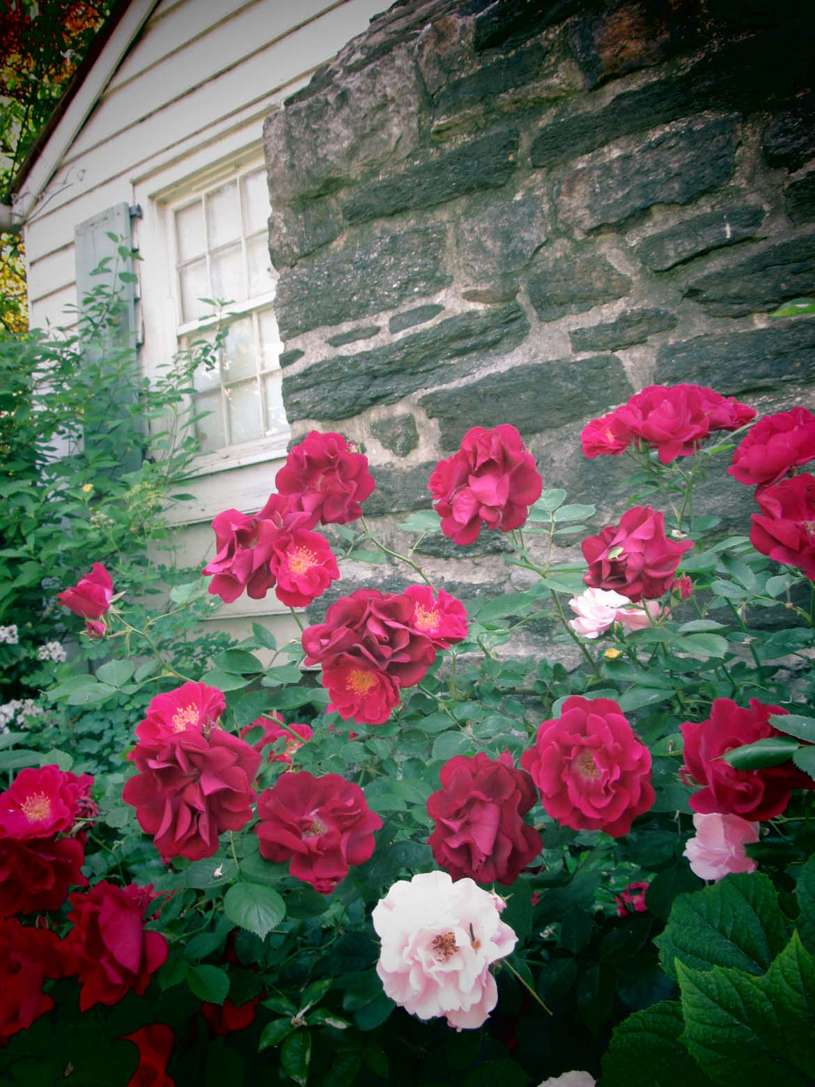 Roses blooming in front of the Summer Kitchen of the Dyckman Farmhouse Museum.