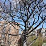 Dyckman European Beech Tree