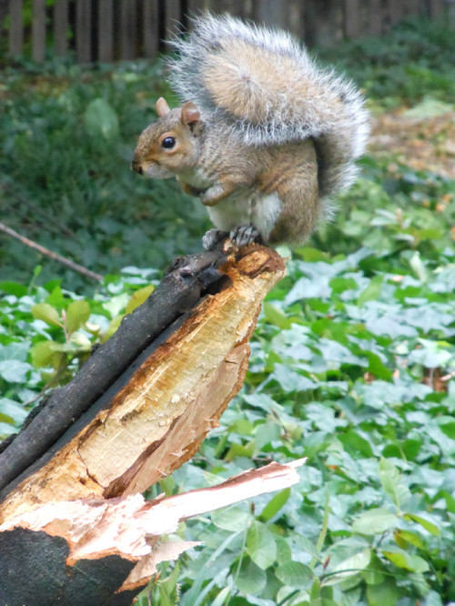 Squirrel on a damaged limb.